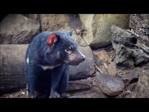 Amazing Facts About Tasmanian Devils
