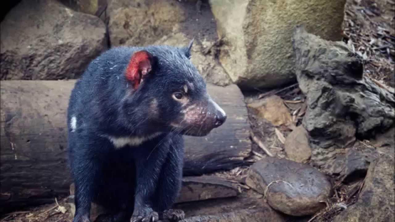 Amazing facts about tasmanian devils youtube - Tasmanian devil pics ...
