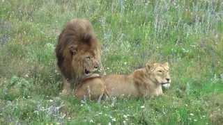 Сафари парк львов Тайган, Белогорск, Крым, 30 июня 2013 г(Как найти, добраться, цены сафари-парка львов http://www.adrescrimea.com/Dostop/safari_park.html., 2013-07-03T07:44:46.000Z)