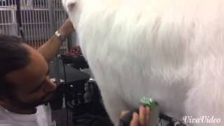 Grooming a Great Pyrenees and removing undercoat.