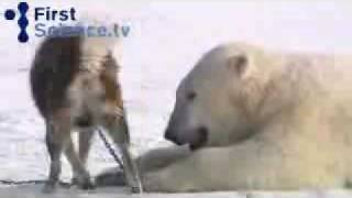 Dogs and Polar Bears Play