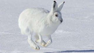 #1744. Кролики и зайцы (В мире животных)
