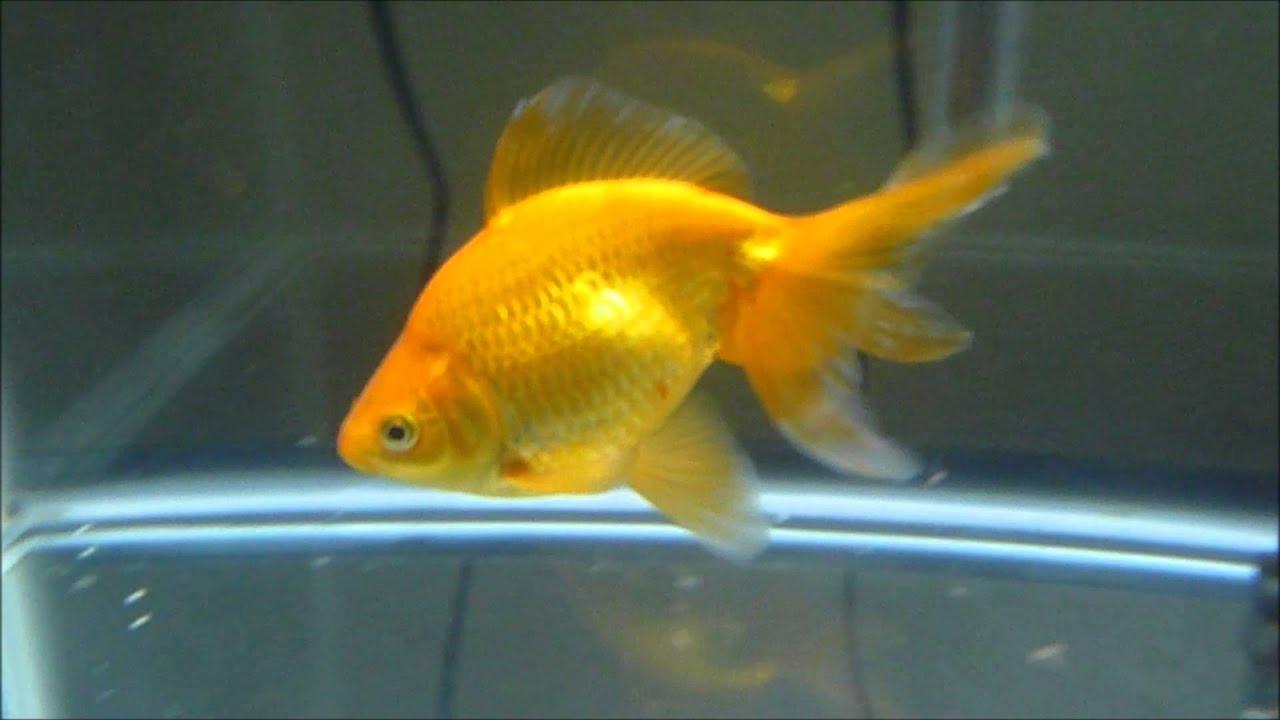 fantail fancy goldfish bloodworm feeding