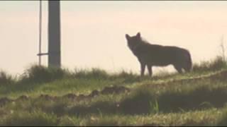 wilk Gorlice bezkrwawe polowanie na wilka