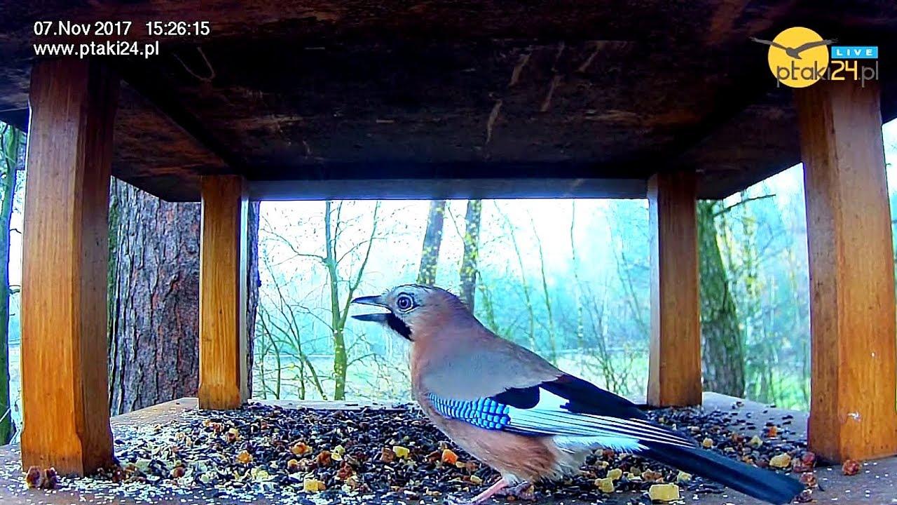 Sójka i sikorki w karmniku dla ptaków w lesie