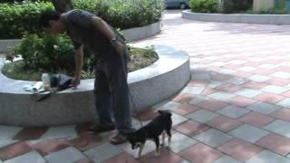 野性強的柴犬幼犬馴服法