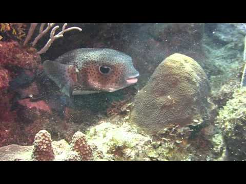 Puffer Fish Eating The Coral Reef.