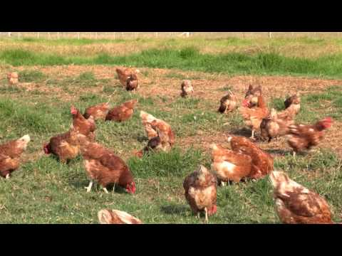Free Range Egg Production – Case Study