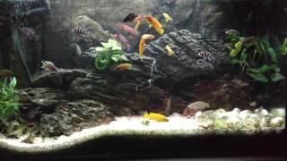 Tanganika wielogatunkowa połączenie ryb z rodzaju TROPHEUS roślinożernych i mięsożernych.