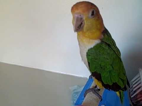 White Bellied Caique Whistling Lessons Update