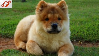 The Chow Chow Dog – All About The Chow Chow Dog Breed!