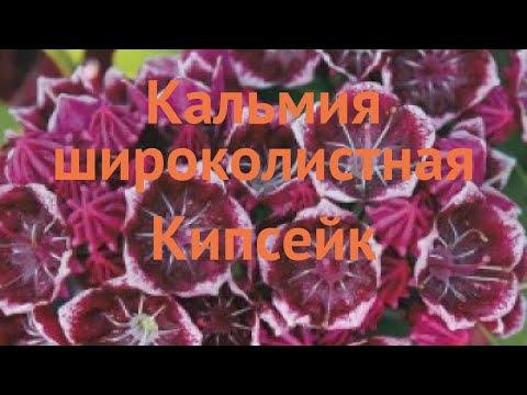 Кальмия широколистная Кипсейк �� обзор: как сажать, саженцы кальмии Кипсейк