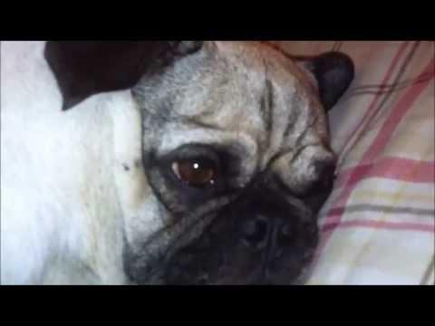 Pug Dream Twitch