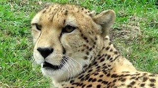Hoo Farm Cheetah film