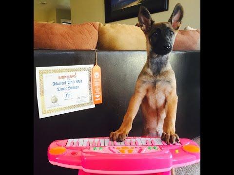 Advanced Trick Dog Title | Flirt The 12 Week Old Belgian Malinois Puppy