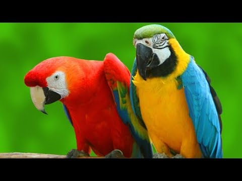 funny birds have a sword fight with their beaks ROFL