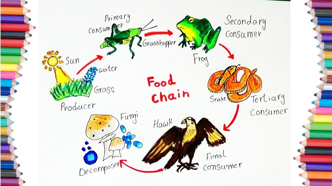HOW TO DRAW  FOOD    CHAIN        DIAGRAM    FOR KIDS  YouTube