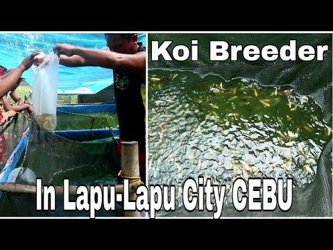 A Massive Production Of Koi Fish   Visiting  Koi Breeder In Lapu Lapu City Cebu  Koi Fish Goldfish