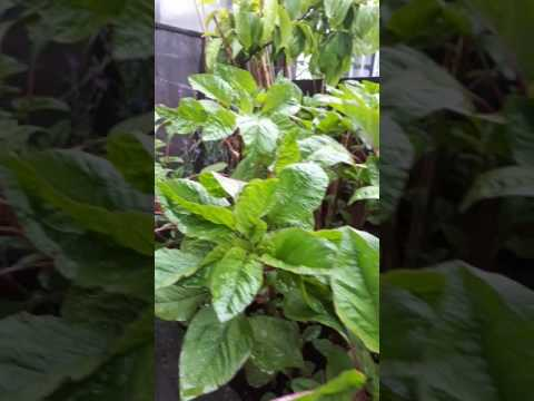 Organically fed Bangladeshi exotic vegetables grown for the menu