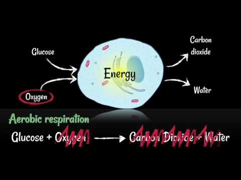 Respiration: Aerobic vs Anaerobic