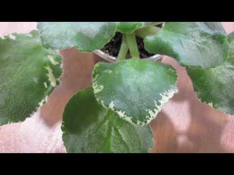Вопрос: Почему у листика фиалки не отрастают корни?