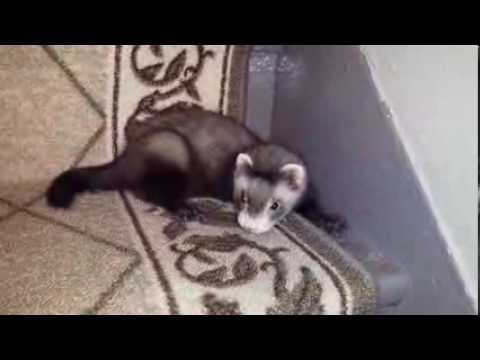 Cute Baby Ferret On Stairs For First Time Youtube