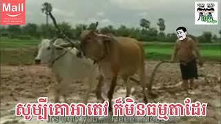 សូម្បីគោអាតេវ ក៏មិនធម្មតាដែរ funny video funnyvids By The Troll Cambodia😂😂