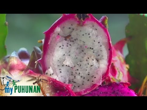 My Puhunan Digital - Dragon Fruit Health Benefits