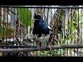 Terapi Kacer Macet Bunyi Jadi Rajin Gacor Menggila  Mp3 - Mp4 Download