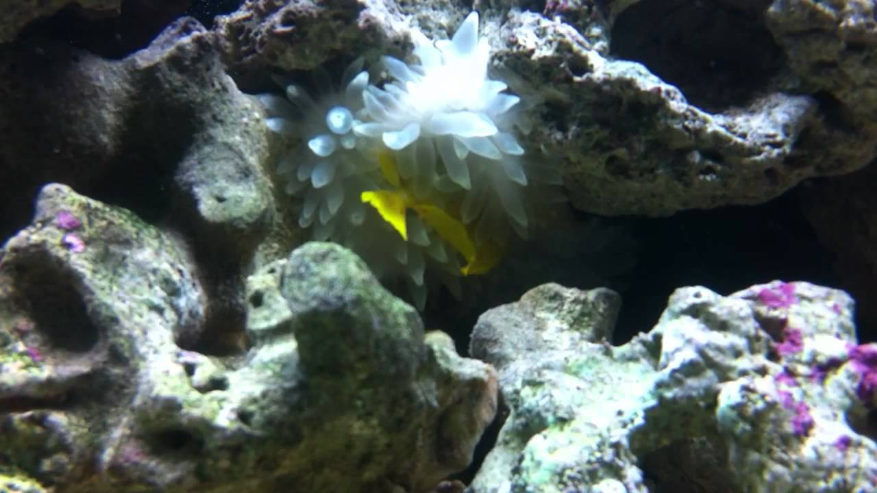 What To Feed My Carpet Anemone  Floor Matttroy