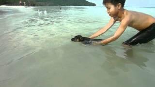 Bạn chó Phú Quốc có nhiều xoáy & bơi rất giỏi - Bé khám phá thế giới -