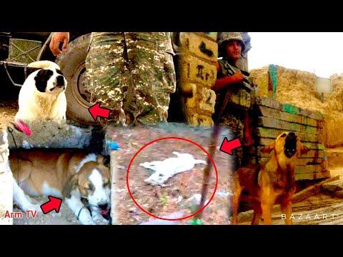 ՀՐԱՏԱՊ․  Ադրբեջանցիները մտել են հայկական դիրք սպանել են  հսկող շանը․ պատասխանը չի ուշացել