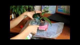 Полив орхидеи после пересадки часть 1(Еще одно видео полива орхидеи после посадки, когда корни не удалялись до живых тканей, а только сухие обреза..., 2015-04-08T06:52:43.000Z)