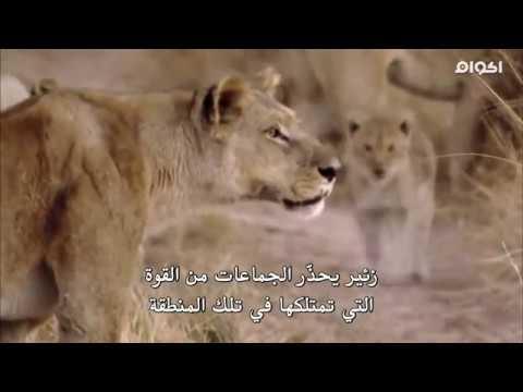 وثائقي اسود في المعركة -مترجم--Documentary -Lion  In Battle