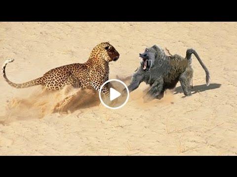 Baboons vs Python | Doovi