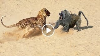 Baboon vs Leopard Baboon Win Jarade Chanel