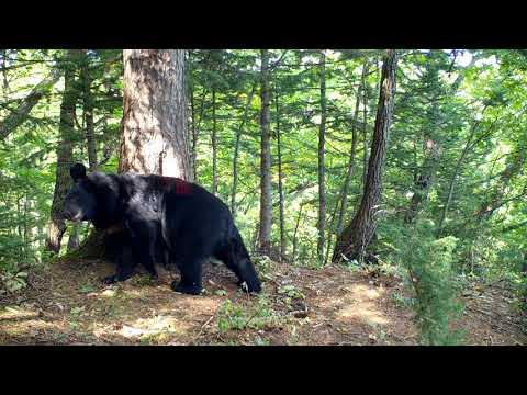 Гималайский медведь (часть 2)