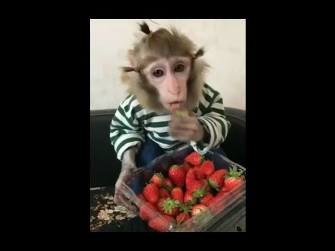 Смешные обезьяны, обезьяна спортсмен, обезьяна танцует