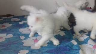 Available this cute baby Persian kittens in Pune