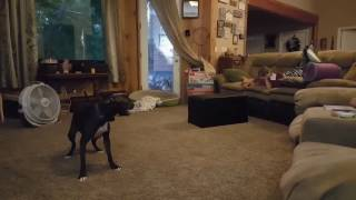 Pit bull dog gets the zoomies and makes the kids laugh hysterically