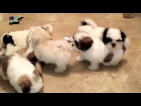 My Mal Shi (Maltese and Shih Tzu Mix) and Shih Tzu puppies playing like crazy