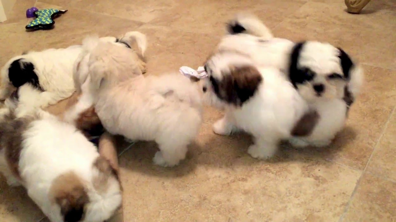 My Mal Shi Maltese And Shih Tzu Mix And Shih Tzu Puppies Playing