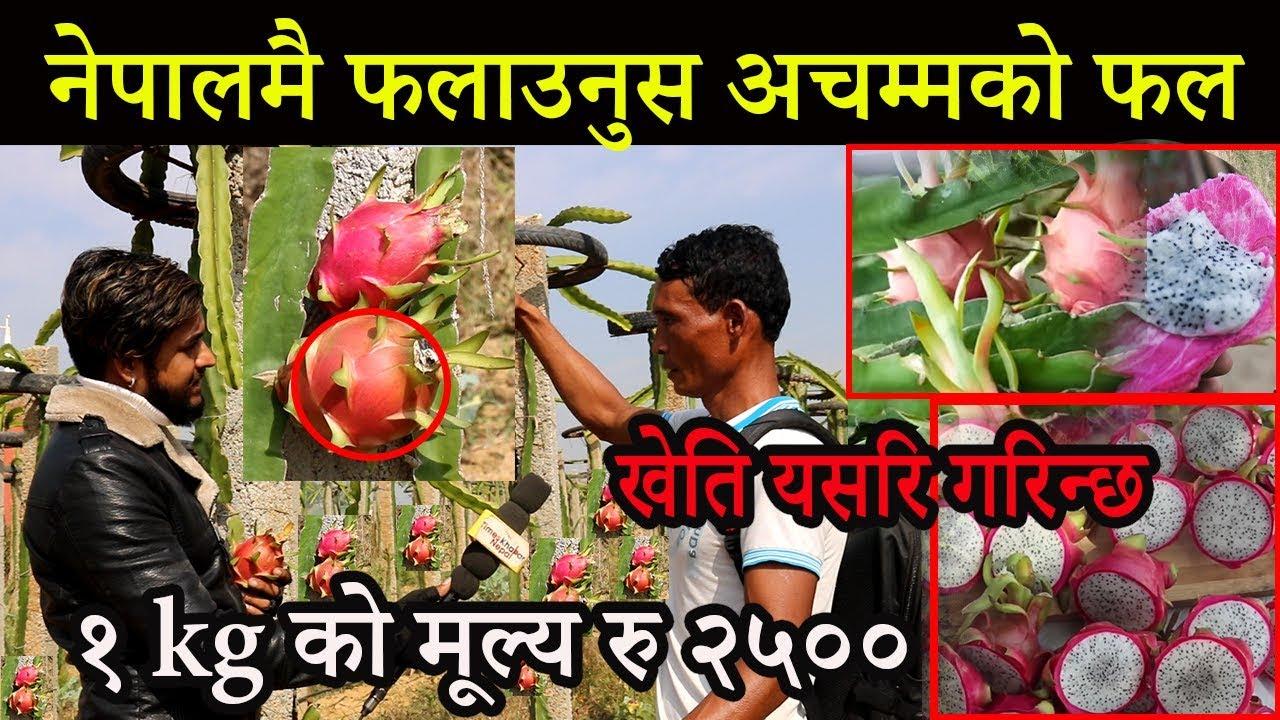 Download नेपालमै फलाउनुस अचम्मको फल,१ kg को मूल्य रु २५००, Dragan food farming in nepal