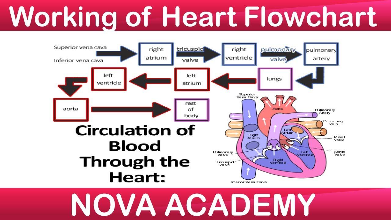 Working of Heart Flowchart | Human Heart | Class 7 Science ...