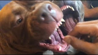 THE HULK LIFE: I gotta watch my FINGERS this dog is FAST! training protection dogs