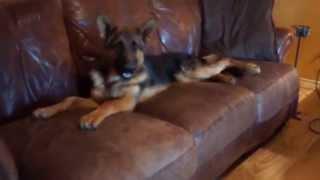 German Shepherd Puppy Dallas Texas - Von Der Otto German Shepherds