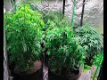 Christmas Cannabis Grow  Update
