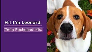 Project Canine Virtual Therapy Dog Visit with Leonard Foxhound Mix