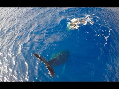 Rare footage of humpback whale hanging tail in air