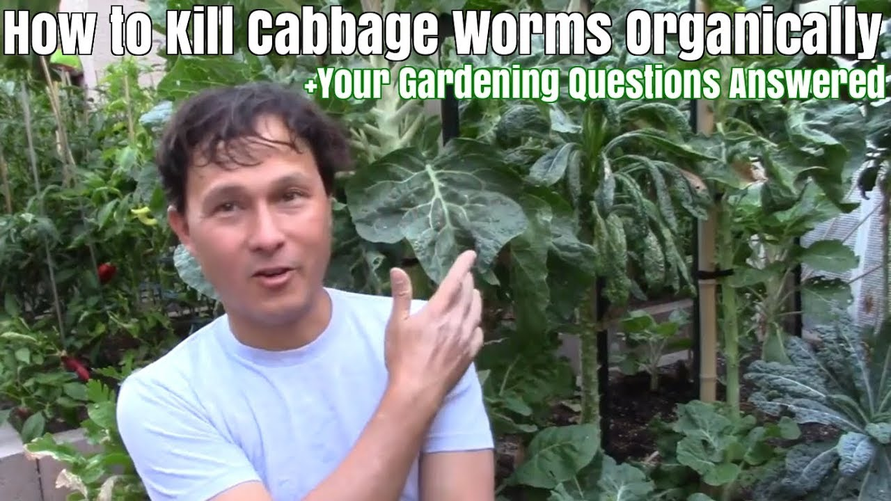 How To Kill Cabbage Worms Organically Your Gardening Questions